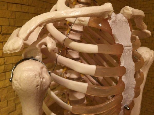 肋骨の模型